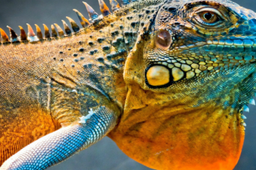Dragon-lizard-a-chameleon_1920x1080